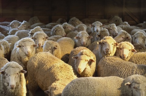 Benefício fiscal para venda de ovinos e caprinos é aprovado pela CAPADR