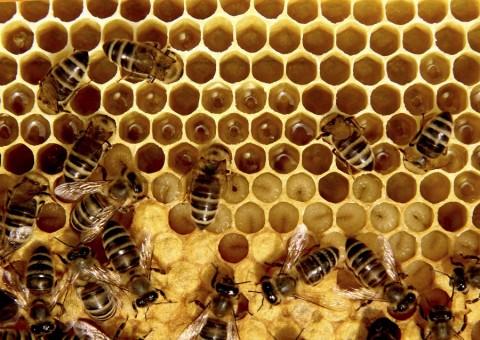 Organização alerta sobre desaparecimento de abelhas e importância da apicultura no mundo