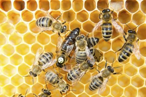 Projeto brasileiro fortalece apicultura com melhoramento genético de abelhas-rainhas