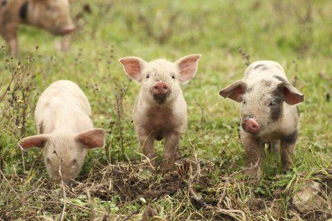 DF e 14 estados brasileiros estão livres da peste suína, diz organização