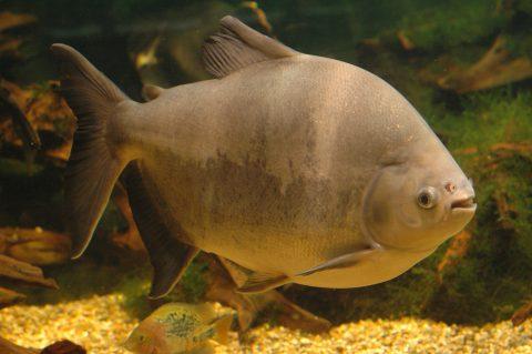 Rondônia é destaque na produção de peixes