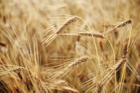 Indústria de carne recorre ao trigo para alimentação de aves e suínos