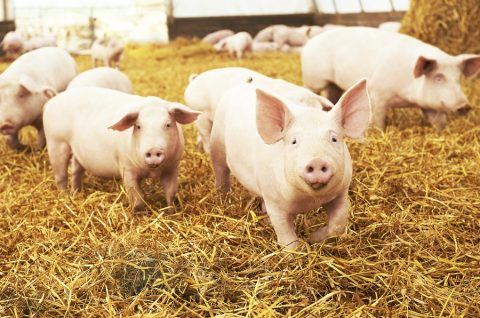 Governo reorganiza trânsito de suínos e derivados no Brasil