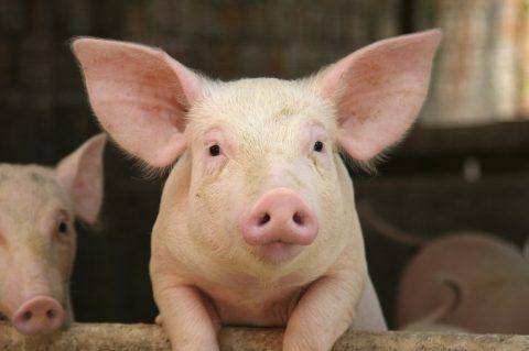 Estudo de zootecnista descobre que porcos ficam mais alegres ouvindo Bach