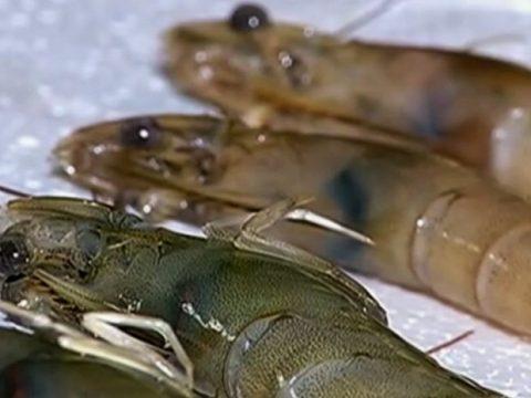 Zootecnista fala sobre doença da mancha branca em camarões