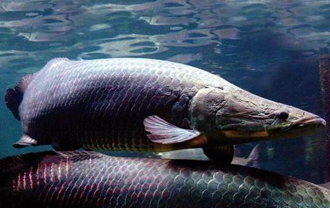 Peixe nativo deve ser novo destaque do mercado, dizem especialistas