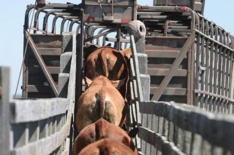 Zootecnistas falam sobre cuidados com transporte de animais