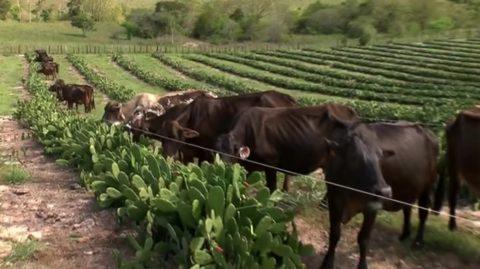 Zootecnista utiliza novo tipo de manejo para alimentação de gado na Bahia