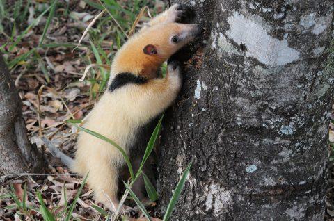 Zootecnista fala sobre preparação de animais de zoológicos para soltura
