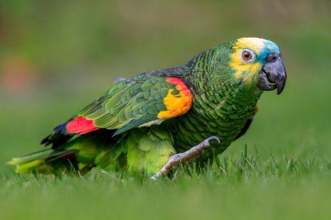 Zootecnista fala sobre tráfico de aves no PR, SP e MS