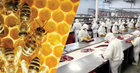 RT: zootecnistas podem atuar em cooperativa de criadores de abelhas e entreposto de carne