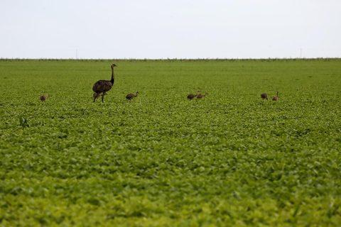 Zootecnista explica auxílio de emas no equilíbrio ambiental de plantações