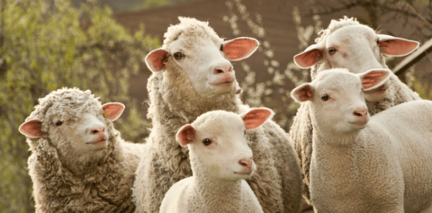 Zootecnista fala sobre crescimento do mercado de cordeiros no Brasil