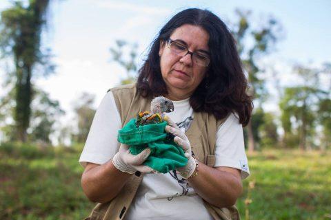 Pesquisa de zootecnista identifica redução de papagaios jovens no Pantanal