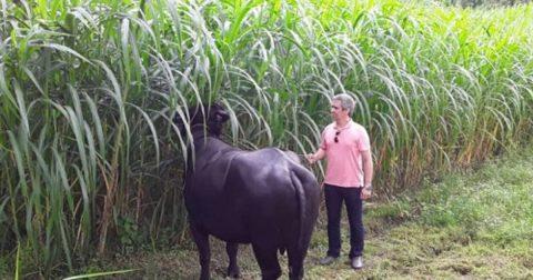 Zootecnista fala da importância da criação de búfalos como negócio